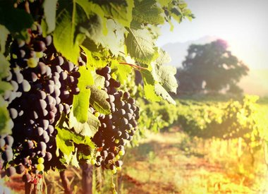 Wine by Grape Variety