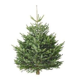Kerstboom Nordmann gezaagd 100/125