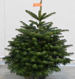 Kerstboom Nordmann pot gekweekt 125/150
