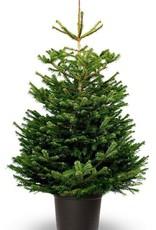 Kerstboom Nordmann pot gekweekt hoogte tussen 150 - 175 cm