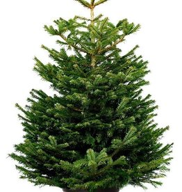 Kerstboom Nordmann pot gekweekt 150/175
