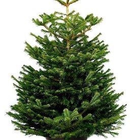 Kerstboom Nordmann pot gekweekt 175/200