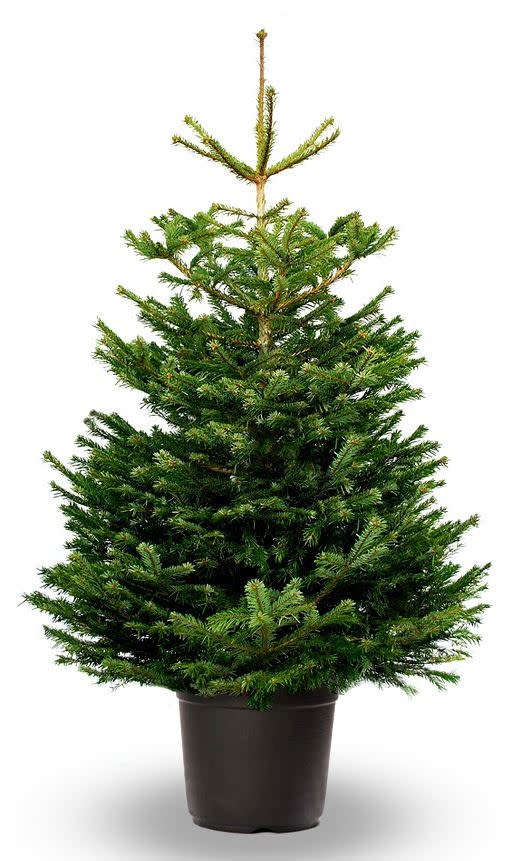 Kerstboom Nordmann pot gekweekt hoogte tussen 175 - 200 cm