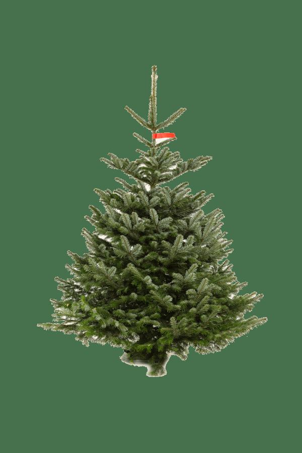 Kerstboom Nordmann pot gekweekt hoogte tussen 200 - 250 cm