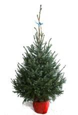 Kerstboom Omorica pot gekweekt hoogte tussen 150 - 175 cm