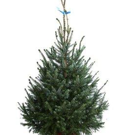 Kerstboom Omorica pot 225/250