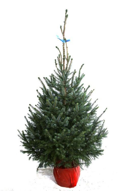 Kerstboom Omorica potgedrukt hoogte tussen 225 - 250 cm