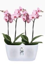 Elho2021 Brussels Orchidee Duo