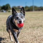 Kong Hondenspeelgoed Ball
