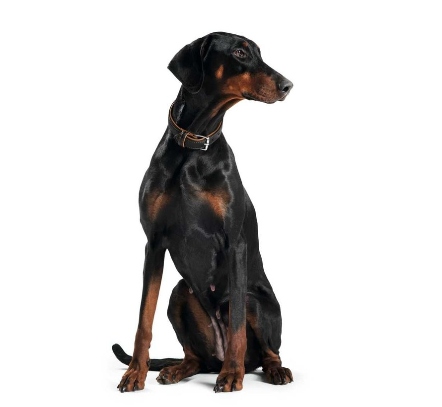 Hondenhalsband Canadian Zwart / Cognac
