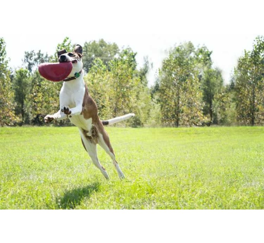 Dog Toy Flyer