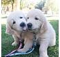 Puppy Hondenriem YoYo Roze