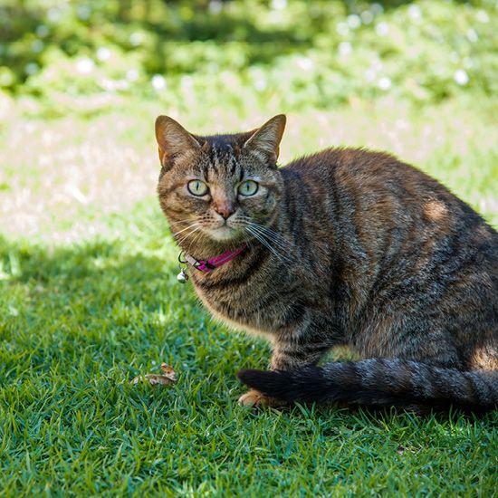 Kattenhalsband AlleyCat Roze