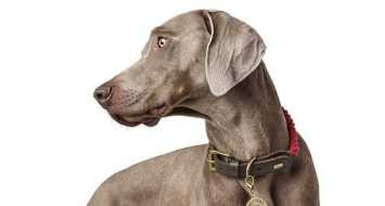 Hondenhalsband