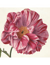 Pink Paeonia Notecard Pack