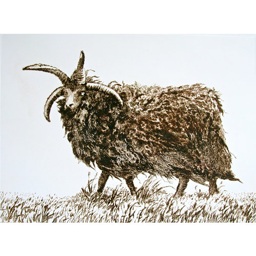 Paul Czainski Hebridean Sheep 17