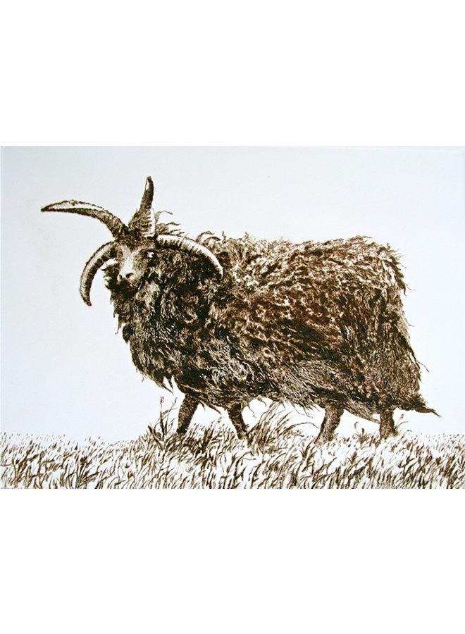 Hebridean Sheep 17
