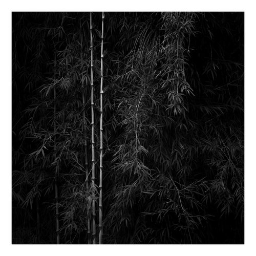 Peter Defty Bamboo, Hiroshima Japan - Elements of Landscape Series