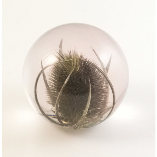 Hafod Teasel real flower paper weight 03