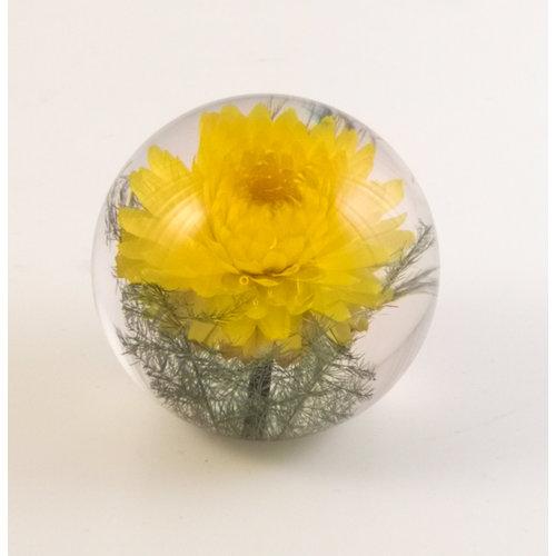 Hafod Gelbe Helichrysum echte Blume Papiergewicht 07