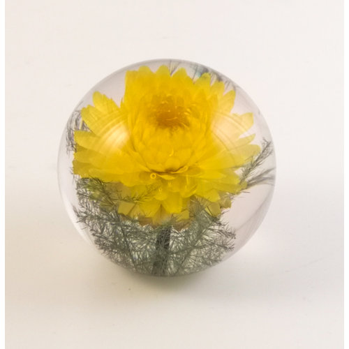 Hafod Yellow Helichrysum real flower paper weight 07