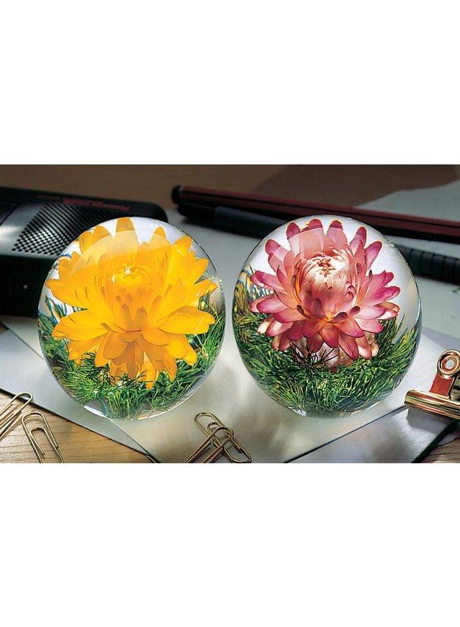 Gelbe Helichrysum echte Blume Papiergewicht 07