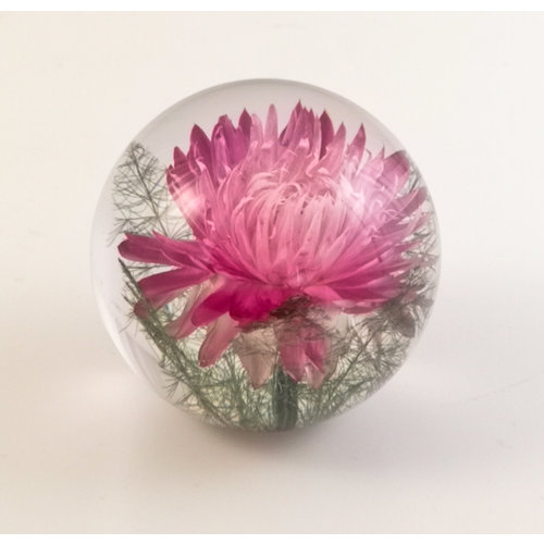 Hafod Pink Helichrysum real flower paper weight 08