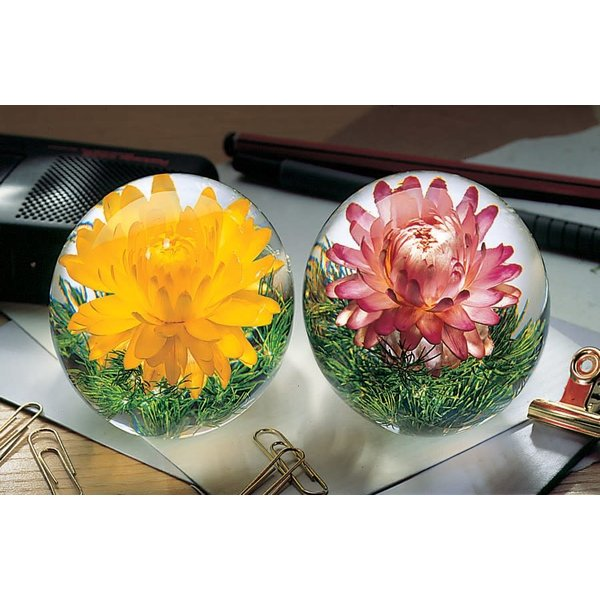 Pink Helichrysum real flower paper weight 08