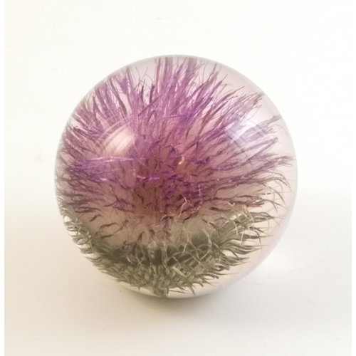 Hafod Open Thistle real flower large paper weight 11