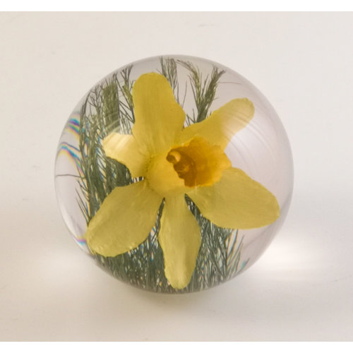 Hafod Daffodil real flower paper weight 06