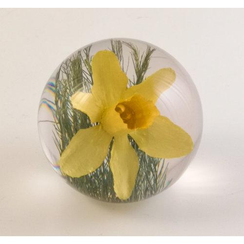 Hafod Papiergewicht der echten Blume der Narzisse 06