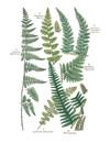 Brithish Ferns 10 Notecard Pack