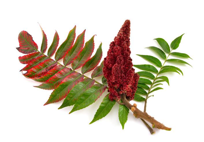 Wurzelsperre-Rhizomsperre-Essigbaum