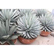 Agave Macroacantha- Wüstenpflanze