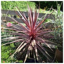 Koolpalm - Cordyline Australian Red Star