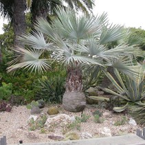 Brahea armata Grijze palm Mexicaanse blauwe waaierpalm