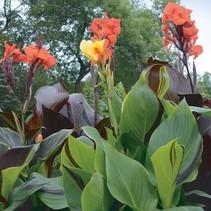 Tropisches Blumenrohr (Canna Red)