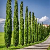Italienische Zypresse (Cupressus sempervirens 'Stricta')