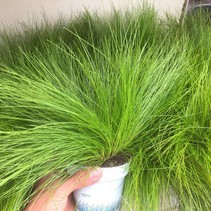 Grünes dekoratives Gras des Giftes