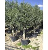 Bomen Olea Europaea - Olijfboom Kopen - GROTE MATEN
