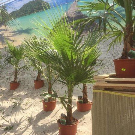 Palmen Washingtonia Robusta Woestijnpalm Kopen - OP=OP