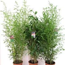 Phyllostachys aurea Bamboe mix