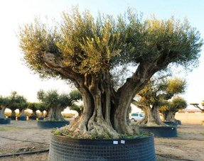 Winter Hardy Olive Trees