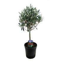Olea Europaea - Olijfboom - 50-60 cm met stam
