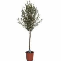 Olea Europaea - Olijfboom - 175-200 cm met stam ! OP=OP