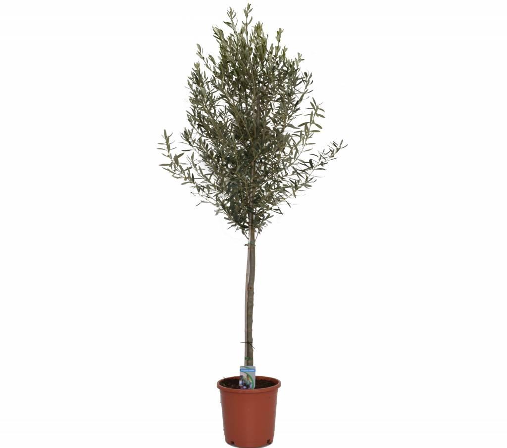 olea-europaea-olivenbaum-robuster olivenbaum | teeninga palms