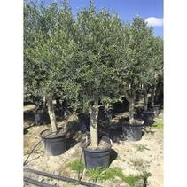 Olea Europaea - Olivenbaum - Copy