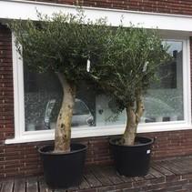 Olea Europaea - Olivenbaum - 170-200 cm altes Holz, das draußen gewachsen ist! KLAR
