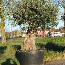 Olea Europaea - Olivenbaum - 240 cm Topf Größe 80 cm Altes Holz