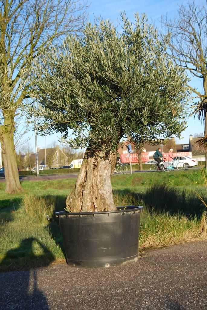 Etwas Neues genug Olivenbaum - Olea europaea - Pflanze 60-80cm Frost - essbare @CD_19